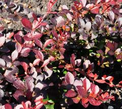 Berberis thunbergii 'Dart's Red Lady '2