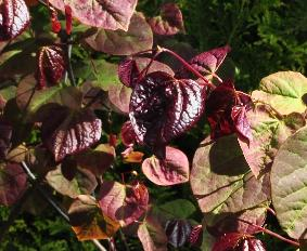 Cercis canadensis 'Forest Pansy' spring leaves