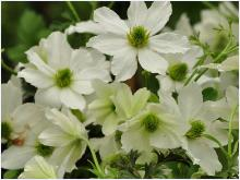 Clematis 'Early Sensation'  Closeupvn