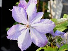 Clematis 'Mrs Cholmondeley' VN