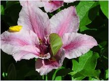 Clematis 'Pink Fantasy tuin