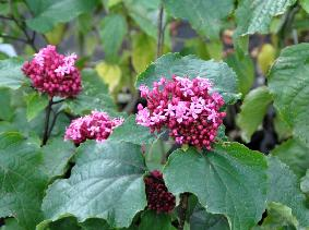 ClerodendrumBungeivn