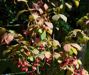 EuonymusPlanipes4sept4