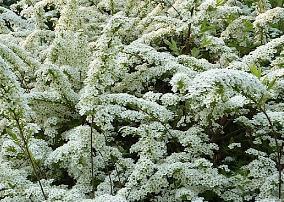 Struiken Met Bloemen Voor In De Tuin.Sierstruiken 12 Sorbaria Spiraea Syringa Taxus Viburnum